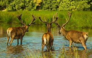 deer-839031_960_720