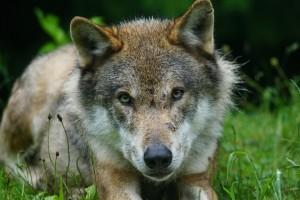 vlk (3)