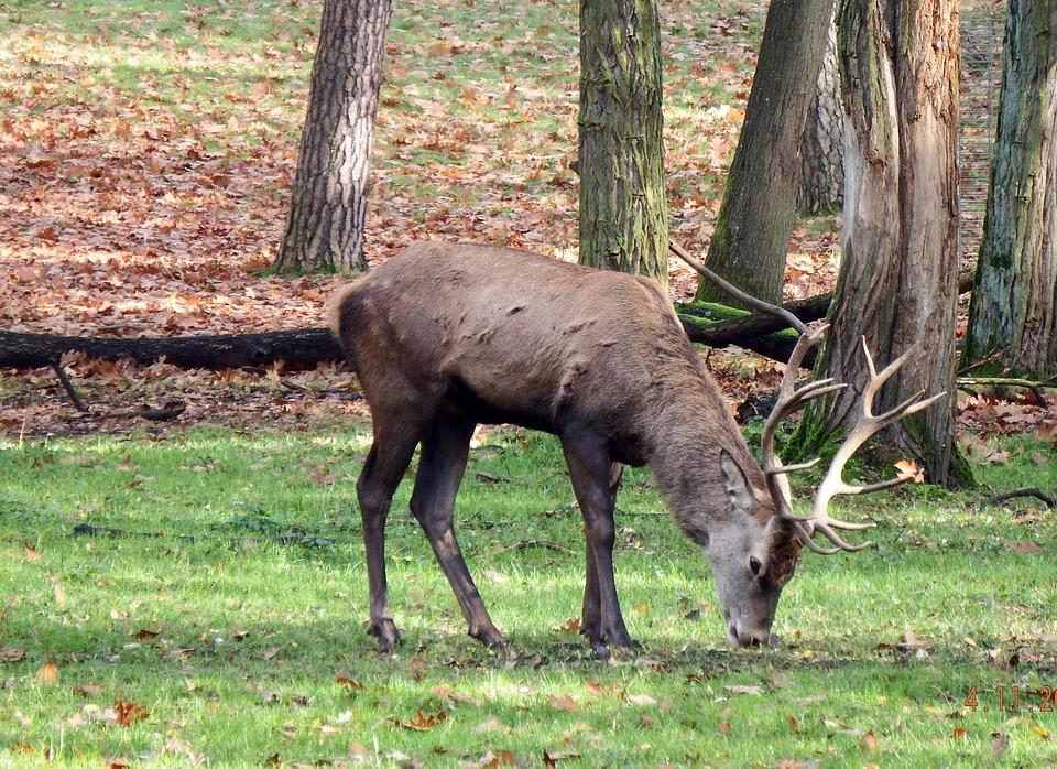 jelen-deer