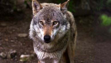 vlk (2)